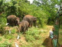 Слоны Шри Ланки