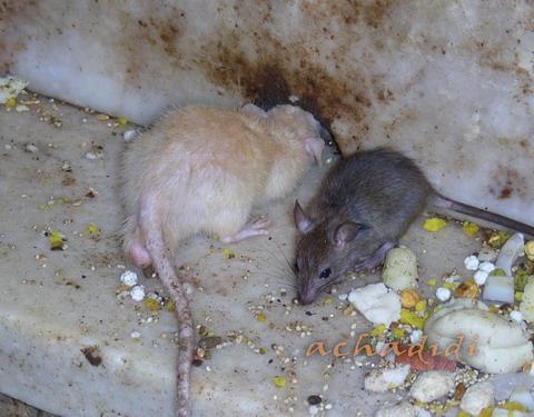 Дешнок. Белая крыса - воплощение Карни маты