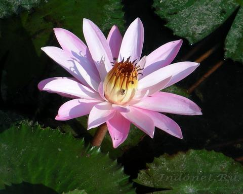 На фото: Цветок лотоса индийского