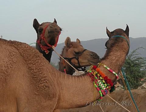 Верблюды. Пушкар мела