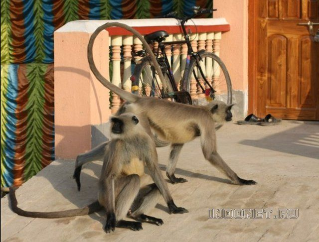 Индийские обезьяны лангуры