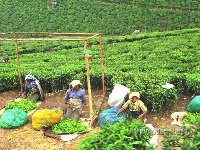 Муннар, на чайных плантациях