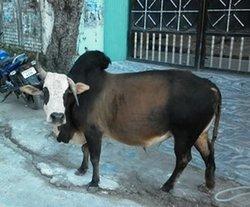 Осторожно! Бодающийся бык!