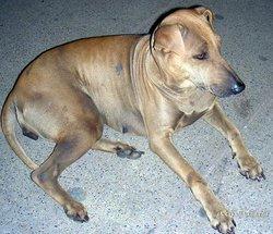 Тайская собака