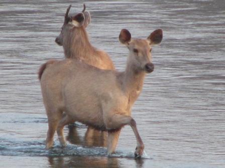 Самбары (большие индийские олени)