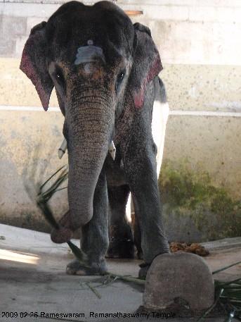 Ramanathaswamy Temple, храмовый слон