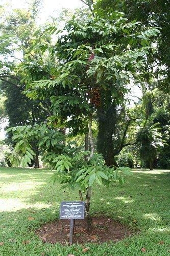 Дерево, посаженное Ю.А.Гагариным